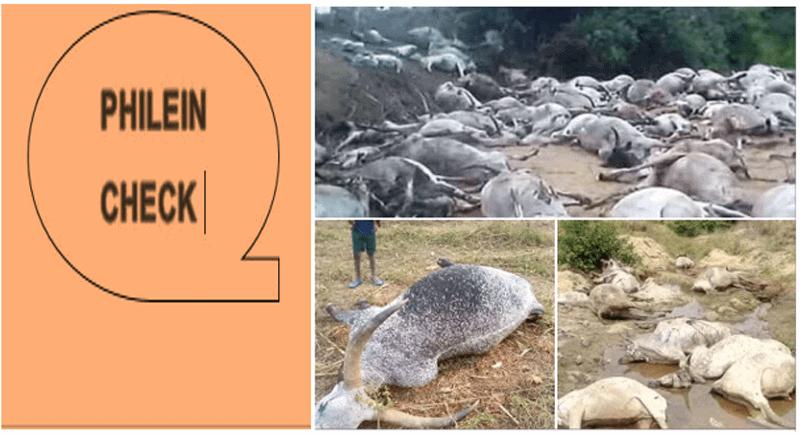 #Phileincheck : ces bœufs ont-ils été réellement tués au Tchad?